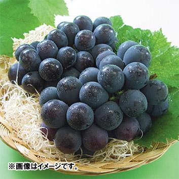 <岡山県産>種無しニューピオーネ(2房)約1.2kg