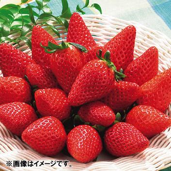<静岡県産>藤田農園いちご「章姫」 900g