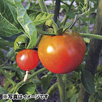 <高知県産>徳谷トマトの「じゃみ」500g