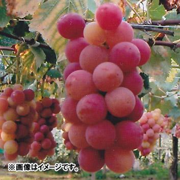 <山梨県・福寿園>紅瑞宝(3房) 900g