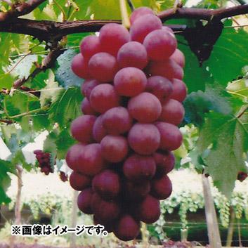 <山梨県・福寿園>サニールージュ(3房) 1.2kg