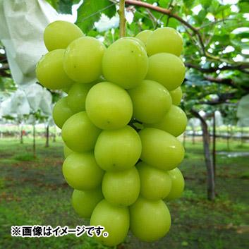<山梨県・福寿園>シャインマスカット(2房)計1.2kg