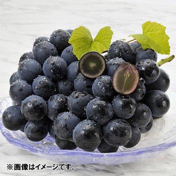 <関野農園>ナガノパープル(2~3房)計1.3kg