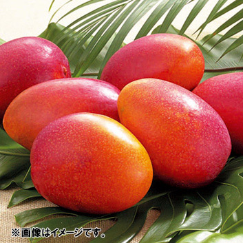 <宮古島産> 倫果樹園 アップルマンゴー秀品(5~8玉)2.4kg