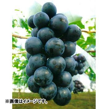<福寿園>ブラックビート(3房)約1.6kg