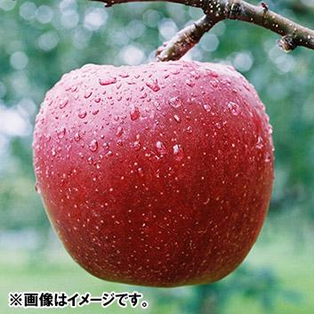 大紅栄5kg(りんご)