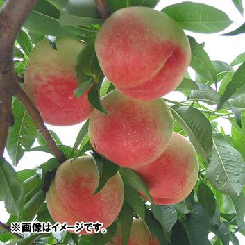 <山梨県産>加納岩中央の桃 6玉(1.5kg)
