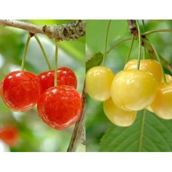 <北海道仁木町産>コロポックルの里  赤・黄色さくらんぼ食べ比べセット800g(400g×2 ・L玉バラ詰)