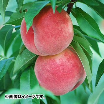 星果樹園の桃「あかつき」3kg