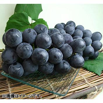 山形県産ぶどう ニューピオーネ 1.4kg(2~3房)