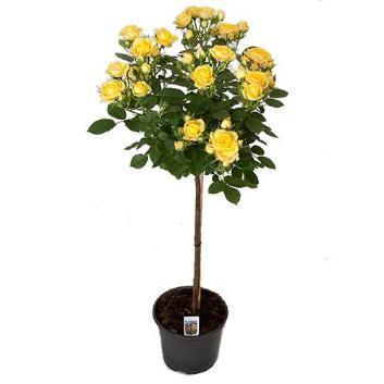 【母の日】スタンダードローズ ロイヤルイエロー 黄