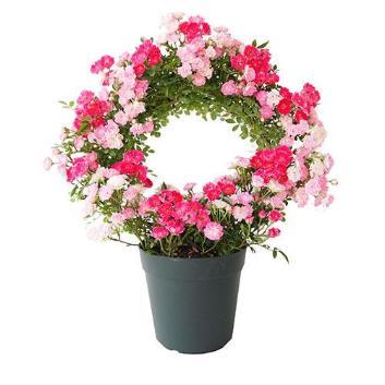 【母の日】ローズ鉢植え 幸せを呼ぶリング仕立て(2色)