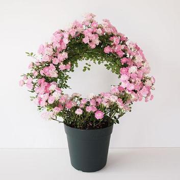 【母の日】ローズ鉢植え 幸せを呼ぶリング仕立て(真珠貝)