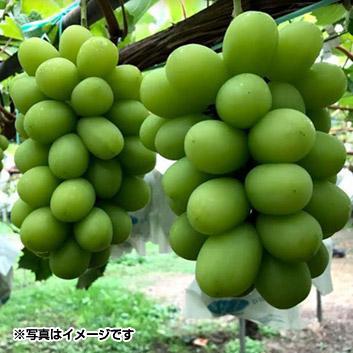 <長野県>シャインマスカット2房(12月出荷)