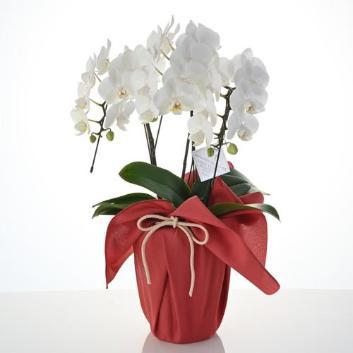 【母の日ギフト】胡蝶蘭 ホワイトシルク3本立(ミディ) ※送料込み価格