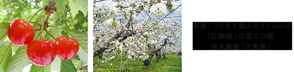 創業100年を超えるさくらんぼ「佐藤錦」の育ての親、苗木農園「天香園」