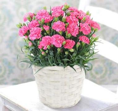 【母の日】カーネーションピンク(5号鉢) ※送料込み価格